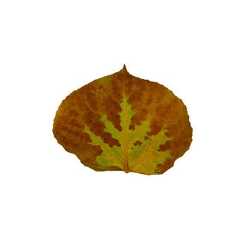 Brown and Green Aspen Leaf 1 by Agustin Goba