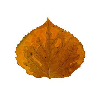 Brown and Orange Aspen Leaf 1 by Agustin Goba