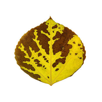 Brown and Yellow Aspen Leaf 1 by Agustin Goba