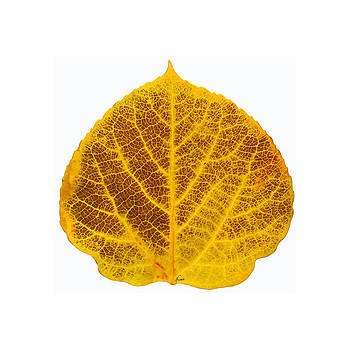 Brown and Yellow Aspen Leaf 2 by Agustin Goba