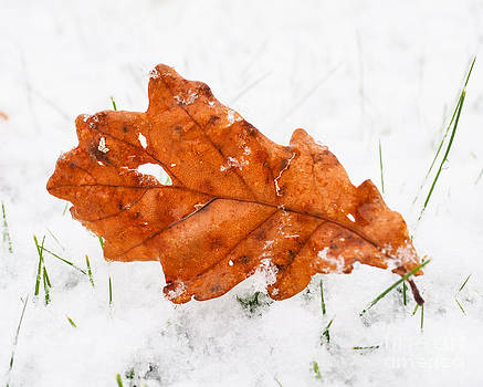 Brown oak tree leaf on lawn with a fresh layer of snow by Arve Bettum