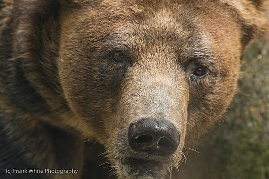 Brown Bear Close-up by Frank White