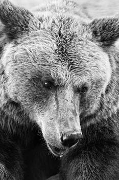 Brown bear portrait by Goyo Ambrosio