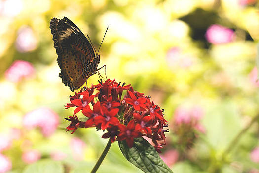 Terry Thomas - Brown Butterfly on a red flower