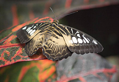Brown Clipper Butterfly by Peter J Sucy