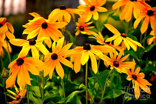 Dale Powell - Brown Eyed Susan