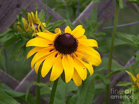 Brown Eyed Susan by Kevin Croitz