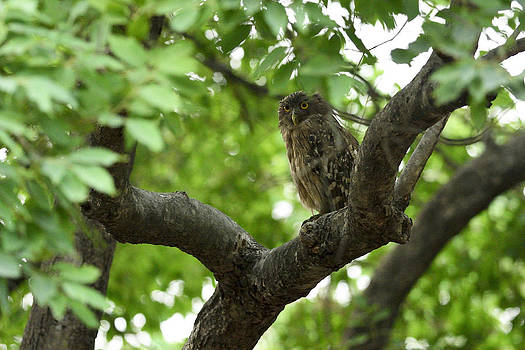 Brown Fish Owl by Fotosas Photography
