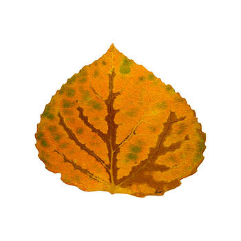 Brown Green and Orange Aspen Leaf 1 by Agustin Goba
