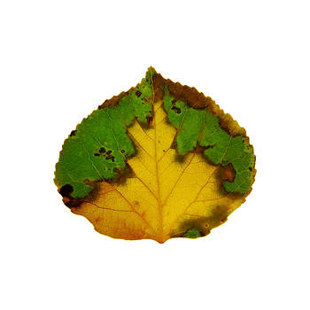 Brown Green and Yellow Aspen Leaf 1 by Agustin Goba