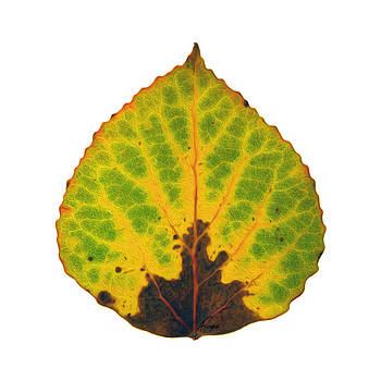 Brown Green and Yellow Aspen Leaf 2 by Agustin Goba