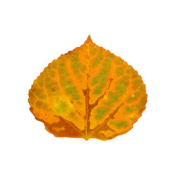 Brown Green Orange and Yellow Aspen Leaf 2 by Agustin Goba