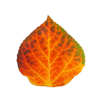 Brown Green Orange Red and Yellow Aspen Leaf 2 by Agustin Goba
