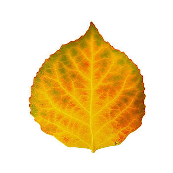 Brown Green Orange Red and Yellow Aspen Leaf 3 by Agustin Goba