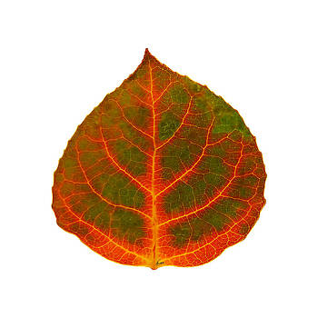 Brown Green Red and Yellow Aspen Leaf 2 by Agustin Goba