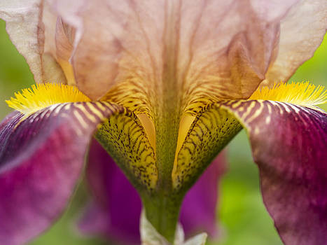 Brown Iris by Alan Roberts