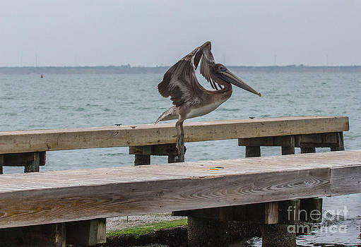 Brown Pelican 1 by Terry Cotton