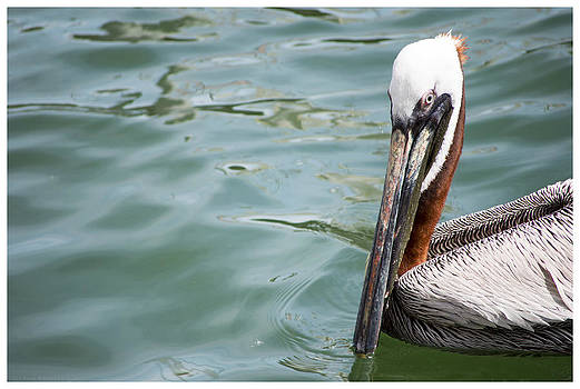 Brown Pelican 72 by Ronald Schafer
