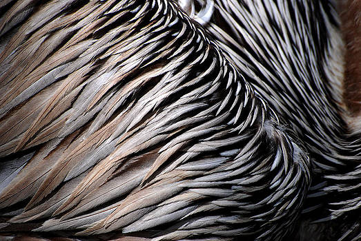 Brown Pelican Feathers by Lorenzo Cassina