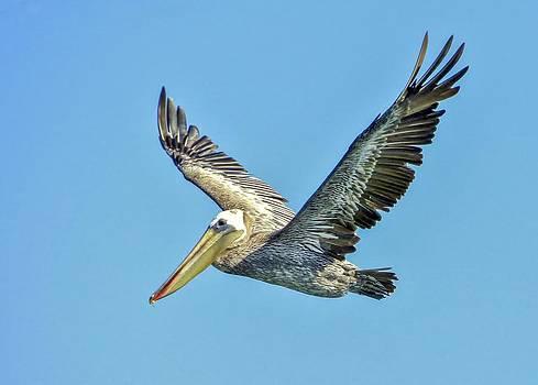 Brown Pelican Flight by Kristal Talbot