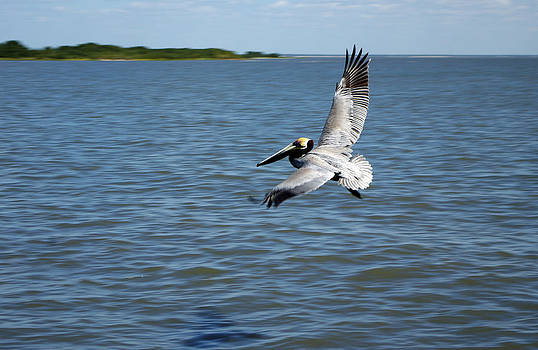 Brown Pelican Hovering by Denise Wagner