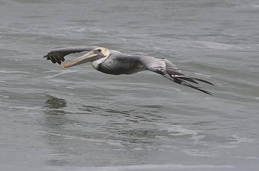 Brown Pelican in flight by Lorelei Galardi