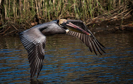 Brown Pelican in the Marsh by Ron  Maxie