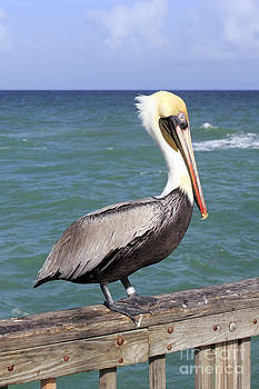 Brown Pelican by Lee Serenethos