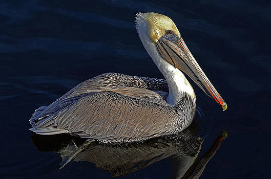 Brown Pelican by Rodney Campbell