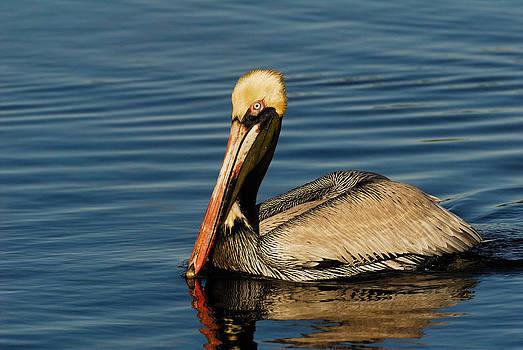 Brown Pelican by Stefan Carpenter