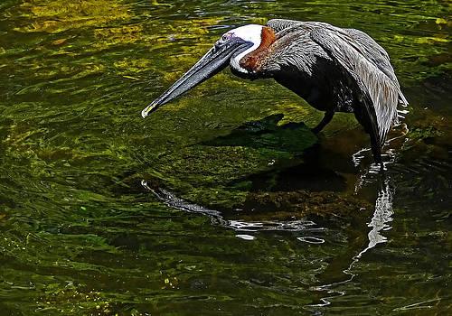 Brown Pelican by Stuart Harrison