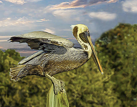 Terry Shoemaker - Brown Pelican taking off