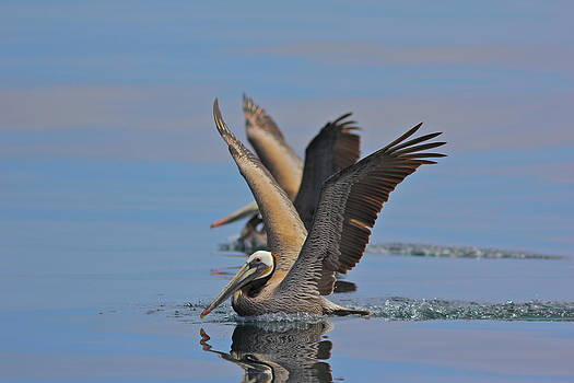 Brown Pelicans  by Liz Vernand