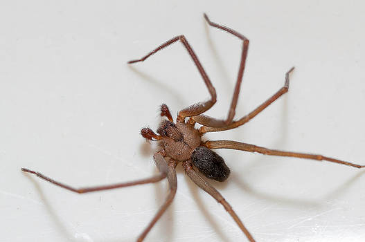 Brown Recluse Spider by Benjamin King