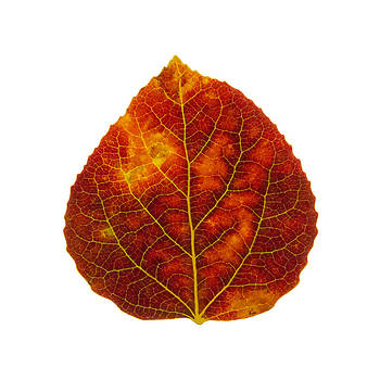 Brown Red and Yellow Aspen Leaf 1 by Agustin Goba