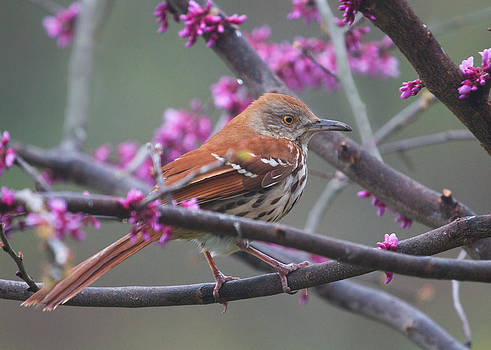 Brown Thrasher and Redbud by Diane Porter