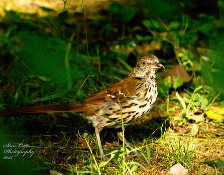 Brown Thrasher by Stanley Lupo