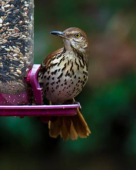 Brown Thrasher - State Bird of Georgia by Robert L Jackson