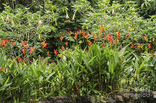 Bob Phillips - Brugmansia Suaveolens and Heliconia Psitacorum