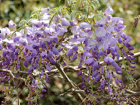 Bubbling Purple Wisteria by Kim Pate