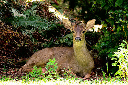 Buck Resting After Activity  by Kym Backland