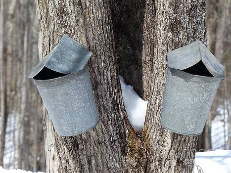 Christine Stack - Buckets on Maple Trees Collecting Sap for Syrup