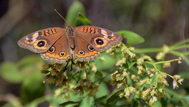 Buckeye Butterfly by Julie Cameron
