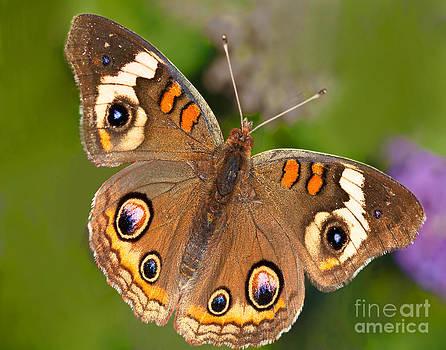 Regina Geoghan - Buckeye Butterfly