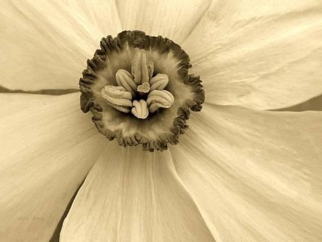 Chris Berry - Buckeye Daffodil