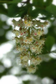 Buckeye Tree Bloom by David Armstrong
