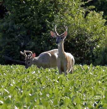 Bucks in a Field of Soy Beans by Kathy DesJardins