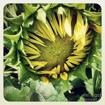 Budding Sunflower by Colleen Drew