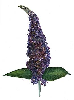 Buddleia purple haze by Garima Srivastava
