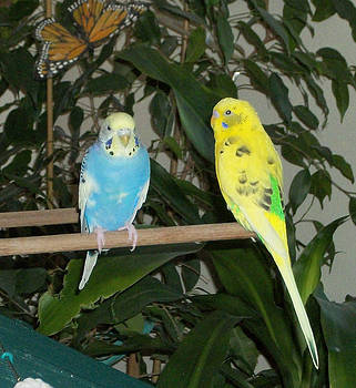 Budgies on perch by Photo Shirts